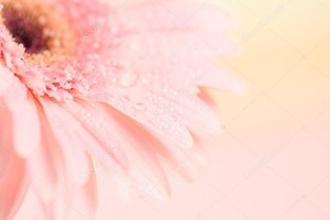 Close up and selective focus of sweet pink  Gerbera flower
