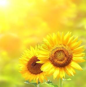 яркие желтые Подсолнухи на желтом фоне