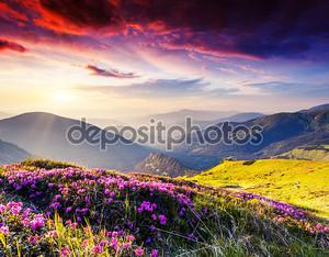 Цветы розовые Рододендрон на летние горы