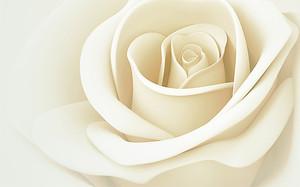 Полураскрытая белая роза