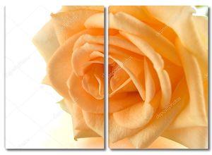 Оранжевая роза на белом