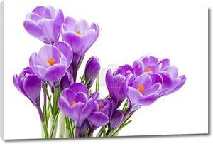 Весенние цветы, Крокус, изолированные