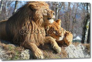 Лев и львица крупным планом