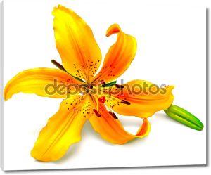 Желтая лилия цветок, Бутон
