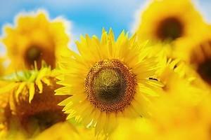 Цветущий Подсолнух. Подсолнухи велики. Красивые подсолнухи я
