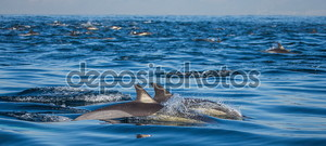 Стая дельфинов в море