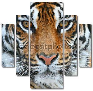 Тигр крупным планом