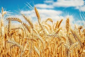 Золотая пшеница поле и голубое небо.