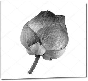 Цветок лотоса чёрно-белый
