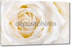 Белая роза с каплями росы.
