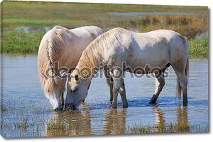 Пара лошадей пьют воду