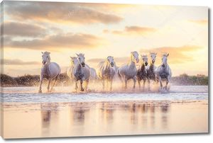 Дикие белые лошади на закате