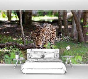 Ягуар в дикой природе