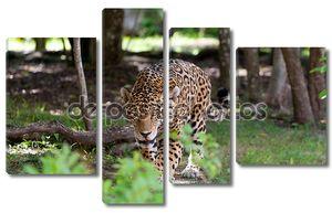 Jaguar в дикой природы