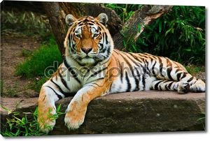 Сибирский тигр на камне