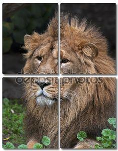 Портрет лежа азиатского льва, отдыхая в лесной тени. Царь зверей, большой кошкой в мире. наиболее опасные и могучий хищник мира. Дикая красота природы.