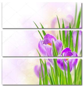 Крокусы в зеленой траве