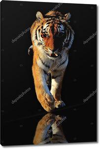 Тигр на черном фоне