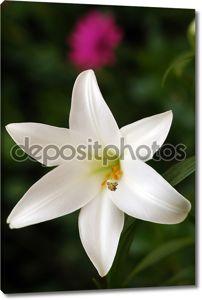 Белый lilly
