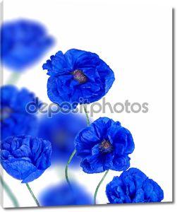 Голубые цветы мака, изолированные на белом