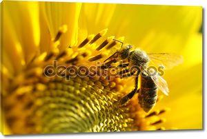 Пчела на подсолнечнике. Крупным планом вид