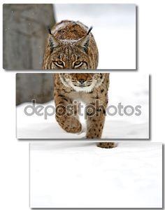 Дикая рысь в зимнем лесу