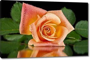 Роза на чёрном фоне