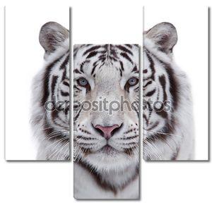 глаза в глаза с молодой белый бенгальский тигр.