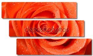 Темно-оранжевая роза с роса падает очень крупным планом