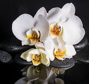 Spa concept of beautiful white with yellow orchid (phalaenopsis)