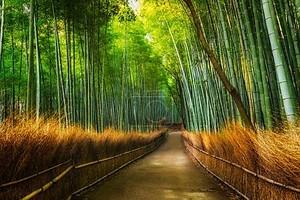 роща бамбука arashiyama