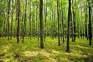 Молодой дубовый лес