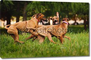 родезийские ridgeback собаки, играющие летом