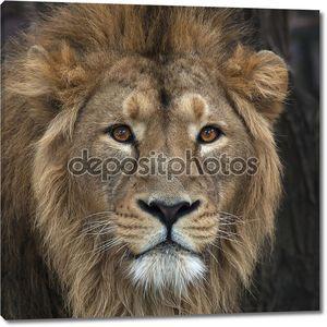 голова с великолепной гривой азиатского льва. Царь зверей, большой кошкой в мире, глядя прямо в камеру. наиболее опасный хищник мира. Дикая красота природы.