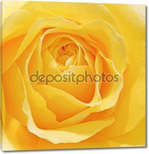 Красивая макрос закрыть вверх из свежих sprring роза цветок с вибро