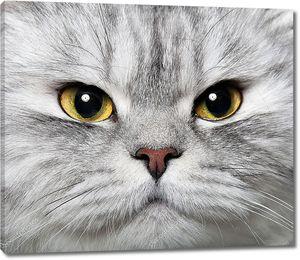 Портрет персидской кошки