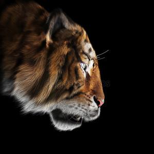 Тигр преследует его молиться на черном фоне