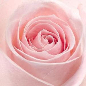 Розовая Роза макросъемки