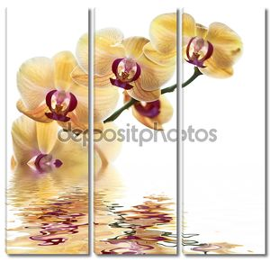 L желтая Орхидея