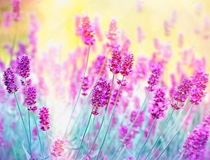Лаванда цветок