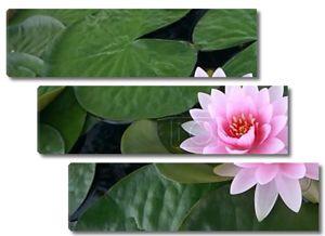 Водяная лилия, Лотос