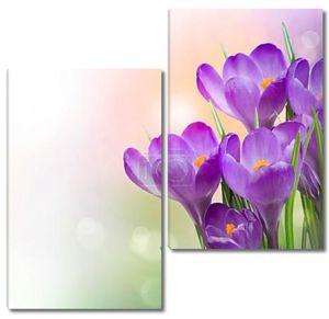 Крокусы Весенние цветы