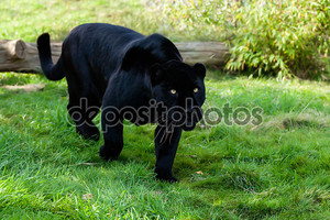 Черный Ягуар, преследование через трава