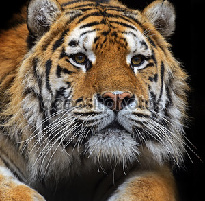 Амурский тигр в летнее время