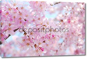Вишни в цвету во время весны