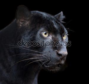 Темный фон с пантерой