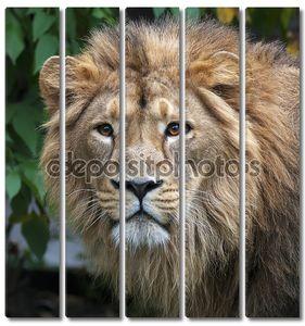 спокойным взглядом Азиатский лев в лесу. Царь зверей, большой кошкой в мире, глядя прямо в камеру. наиболее опасные и могучий хищник мира. Дикая красота природы.