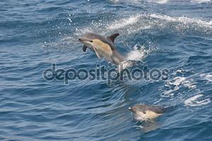 дикий обыкновенный дельфин