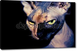 Само уверенно кошка Сфинкс на черном фоне