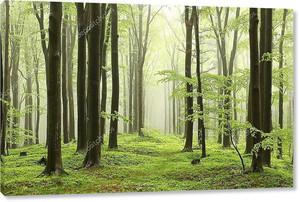 Весна буковый лес в тумане